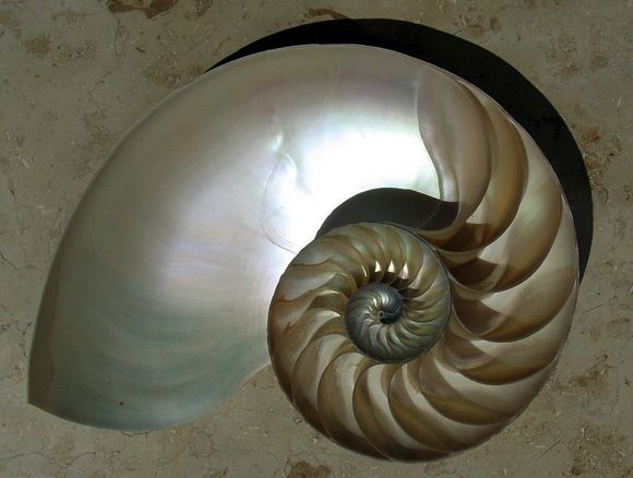 nautilus_cutaway_logarithmic_spiral1